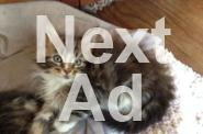 Pure Bred Maine Coon Kittens For Sale For Sale In Fort Wayne Indiana Classified
