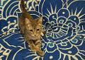 Cher Domestic Shorthair Young Female