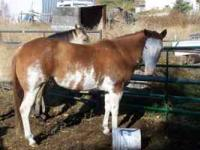 This mare has world Champion breeding, color,