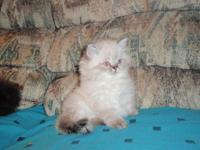 We have 3 grey seal-point himalayan kittens for sale