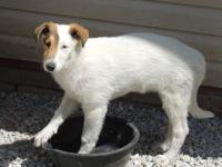 Bridget, a Sable Headed White Rough Female Collie may