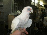 Lovely goffin cockatoo female hand raised n talks she