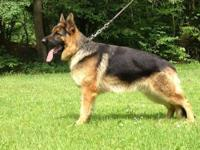 This is a HANDSOME large structured male German