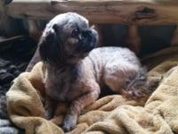 AKC Registered Shih Tzu, 11/2 years of ages, nuetered,