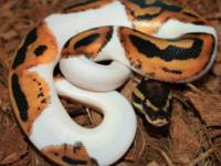 These gorgeous new babies of Albino and Piebald ball