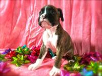 Lacey AKC 1/2 Euro Flashy Brindle Boxer Female. Born: