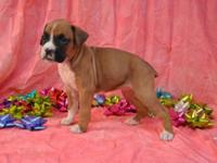 Woman AKC Flashy Fawn 1/2 Euro Boxer Female. Born: