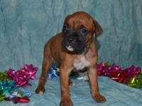 Lance AKC Open Brindle, 1/2 Euro Boxer Male. Born: