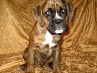 I have one beautiful reddish brindle boxer boy left.He