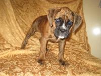 I have only one 1/2 European boxer boy left. He was