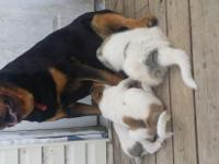 1/2 Great Pyrenees 1/2 Rottweiler puppies. Mom is used