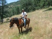 Pack/Trail Horse - 6 Years Old, 1/4 Shire X 3/4 Quarter