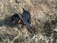 We are selling a very nice purebred German Wirehaired
