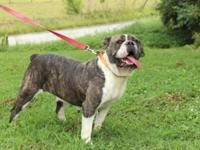Lovely Old English Bulldog Female. 19 Months. Has had