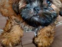 Hello we have for sale 1 male Shih Tzu puppy (BROWN IN