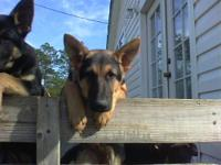 I have one female german shepherd puppy left. She is