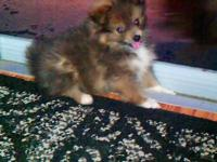 Female, light sable with white markings on chest/paws,