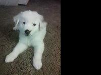 one beautiful male border-aussie puppy is still offered