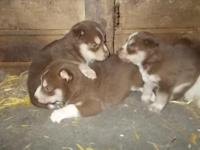 1 CKC Registered Husky Male Pup left ... 8 weeks old.