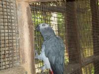 1 male African Gray domestic bread about 12 years old.