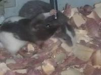 I have 1 female adult medium sized rat for sale! Is