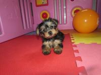 We have one darling Morkie female and one male. The