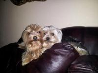 I have an incredible young female yorkie which is a