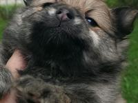 Mia is a 4 weekold female Red Wolf Sable with dark