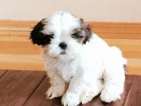 This is our last Shih Tzu left. She is mostly white