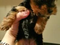 Hi , I have a T- cup female yorkie girl , 8 weeks old ,