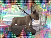 Beautiful puppy 12 weeks old (9-17-15). Pet only.