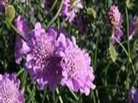 Compact, clumping perennial with finely cut, grayish