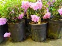 1 gallon sized Azalea - $4 each. Hundreds to choose