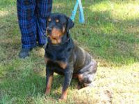We have 1 female Champion Bloodline Rottie , We are