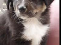 I have 2 gorgeous Aussie Puppies left and they are both