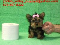 This Is # 1 Yorkie Girl, I Kept 2 Girl Yorkies Back And