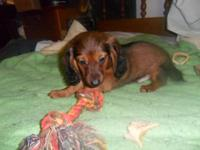 1 LEFT, FULL BRED C.K.C. REGISTERED MINIATURE DACHSHUND