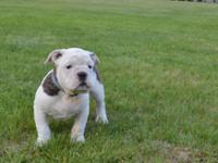 We have 1 adorable Male left! Purebred and registered