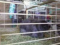 Sweet Dwarf (3lbs) Long Haired Lop, pure bred, no