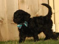 1 male F1b Rare Silver/ Black Goldendoodles Puppy READY