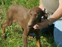 We have 1 male chocolate Doberman puppy for sale. The
