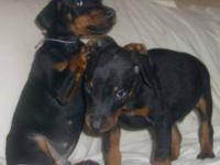 Akc reg doberman puppies from European lines.some