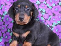 1 Male And 1 Female  Dachshund Need A Home , Call