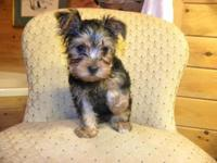 I have one male yorkie $450 and one female yorkie $550.