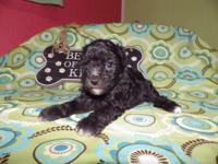 I have two black females poodles and one male for sale