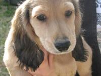 I have 1 Handsome Shaded Cream Male dachshund puppy. He