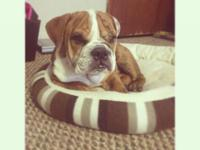 1 male English bulldog available.born sept 17th. have