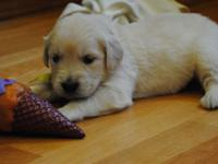 Golden Retriever Puppies - only 2 boys left.  English