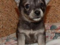 One male Klee Eskie puppy left He is the runt and his