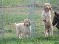 1 male Irish Doodle left!!! He is the one on the right.